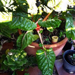 An olla waters the soil inside an earthenware pot in Cape Town